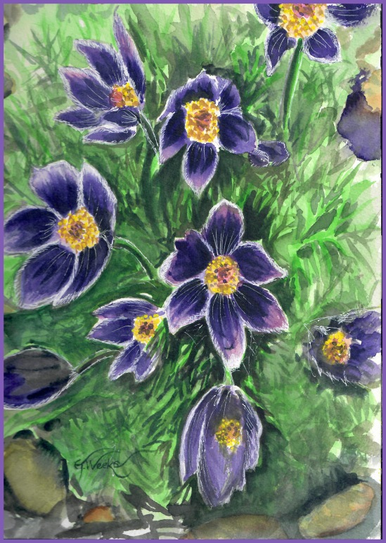 Pasque flowers WC purple